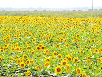 笠岡湾干拓地 約100万本のヒマワリが織りなす、圧巻の黄色いじゅうたん。