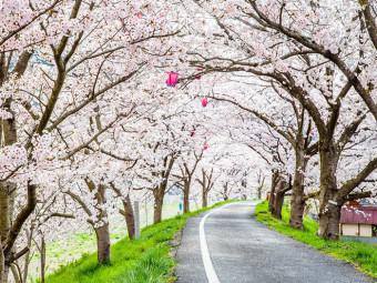 桜トンネルの下を通りぬけて(3選)。