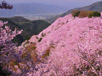 岡山 近県 サクラ絶景10選(2018年)