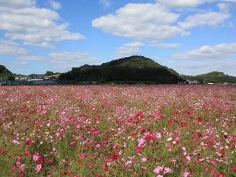 ピンクの花びらのじゅうたん。岡山県内のコスモス畑3選(2016年)。
