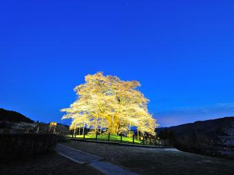 精一杯咲き続ける、古木の桜に生命を感じて(2選)。