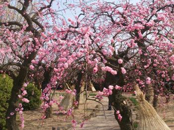 梅の花 スポットガイド 2019