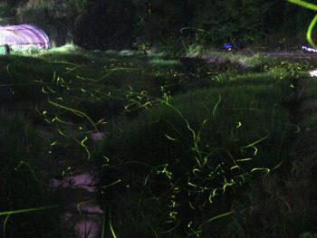 《矢掛町ホタル鑑賞》約10万匹の幼虫を育てて放流する、ホタルの名所へ行こう!