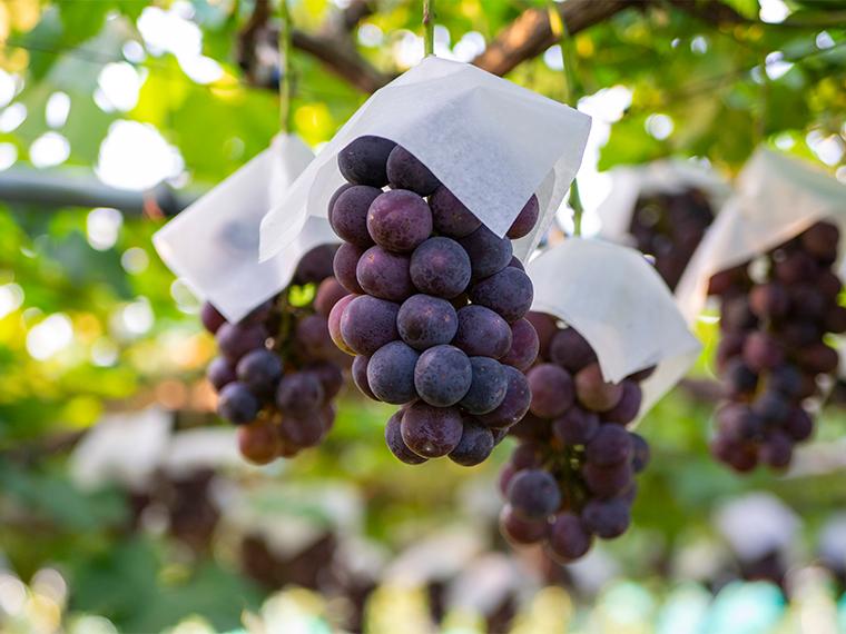 《食べ放題のブドウ狩り》自分で収穫できる楽しさ! ブドウ狩りで秋を満喫しよう。